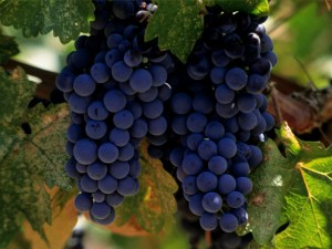 red merlot grapes